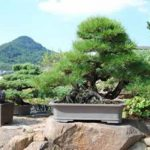 Drzewka Bonsai z Japonii - Poradnik o Bonsai w czterech porach roku
