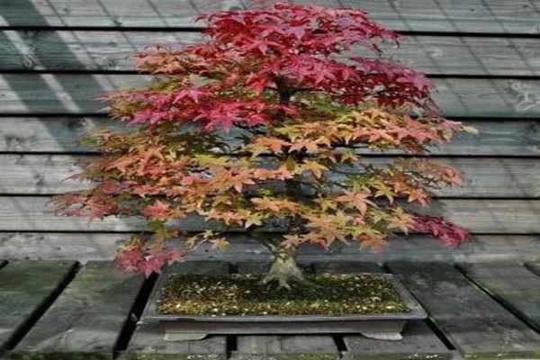 bonsai_jesie
