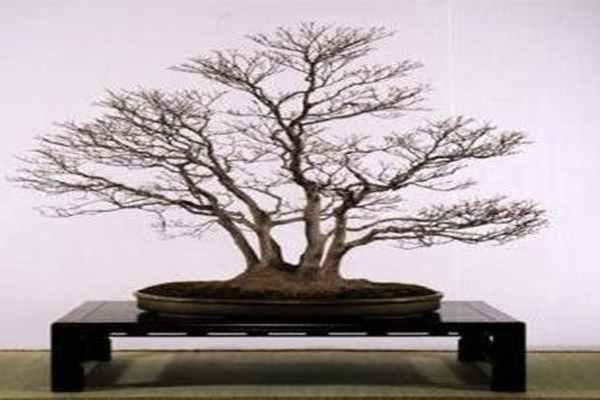 bonsai_zima